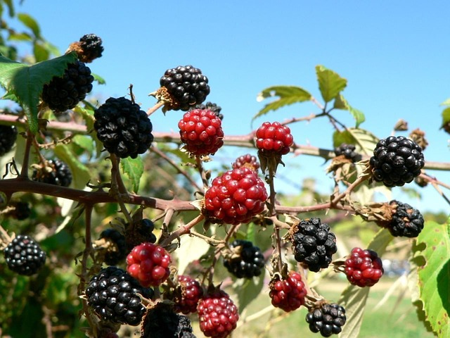Amazing health benefits of mulberries
